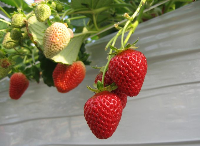Consejos para comprar y conservar las fresas